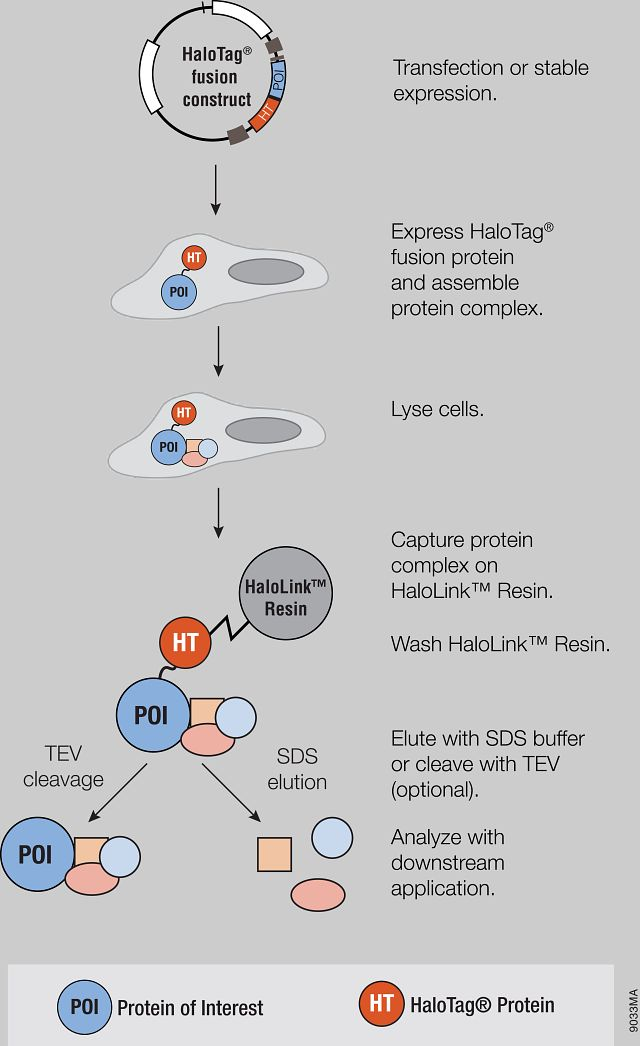 Representation of the HaloTag mammalian pull-down assay using HaloTag fusion protein as bait.