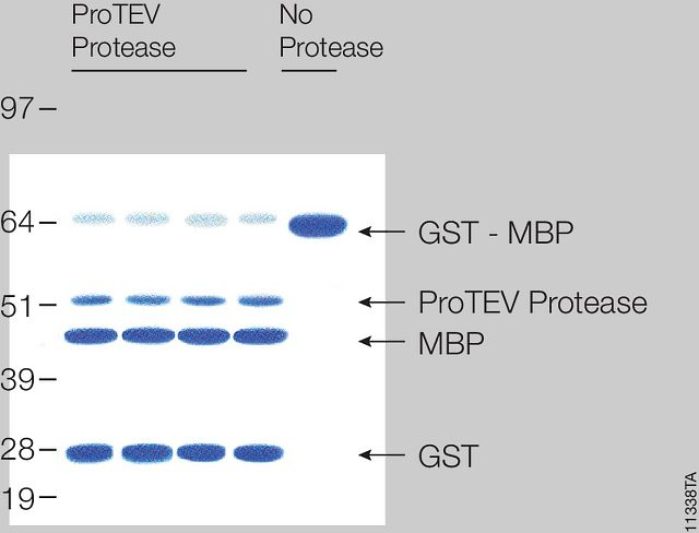 Cleavage of 20µg of GST-MBP fusion protein with ProTEV protease after 60 minutes at <nobr>30°C.</nobr>