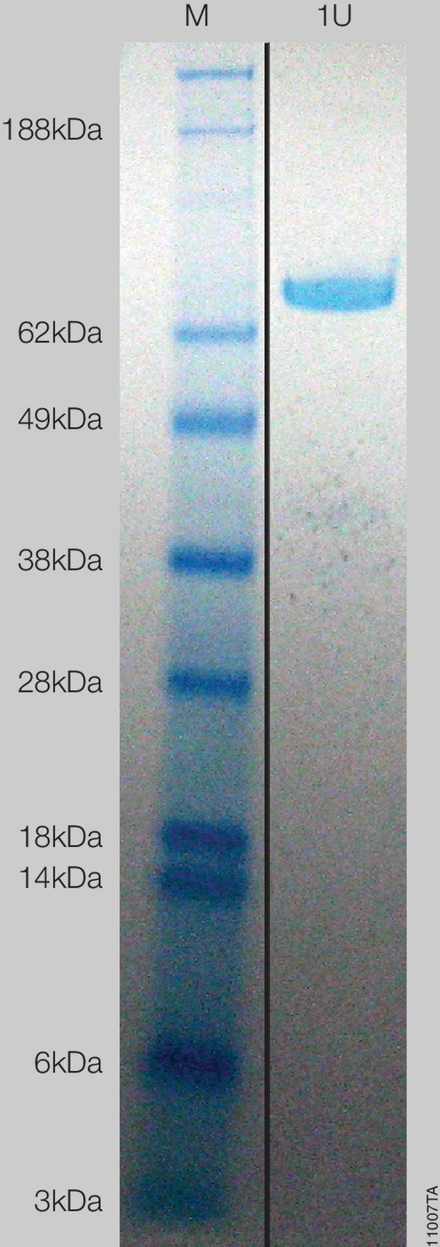 Coomassie®-stained gel of HaloTEV Protease showing 1 unit (U) of protein with the specific activity of 1 unit/µg.