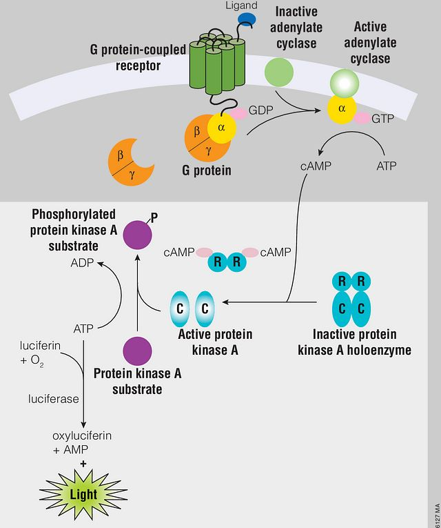 Schematic diagram of cAMP production in cells and the cAMP-Glo™ Max Assay.